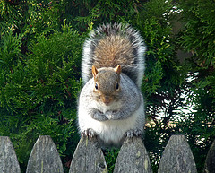 Squirel on fence